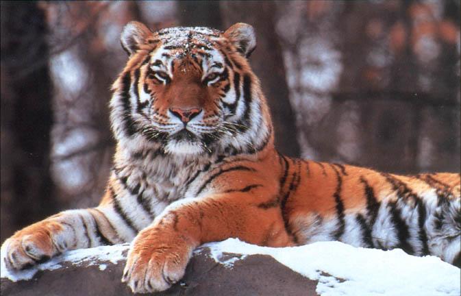 http://kublia.lionking.org/Tigerpc2.jpg