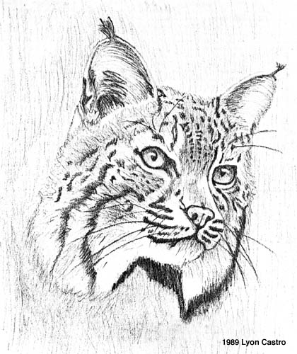 Free Drawing Of A Bobcat Coloring Pages